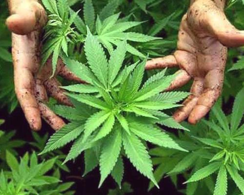 de beste marihuana planten
