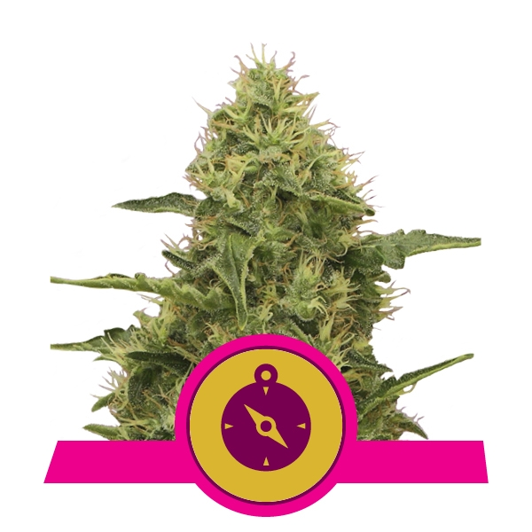 Koop Northern Light Gefeminiseerde Cannabis Zaden Online