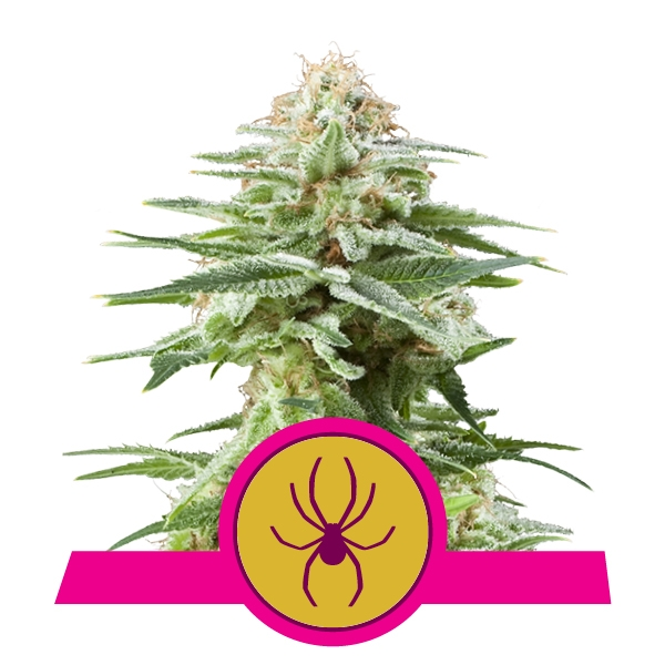 White Widow Gefeminiseerd Cannabis zaden