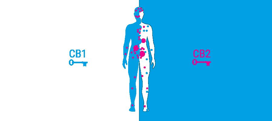body receptoren cannabinoïdensysteem