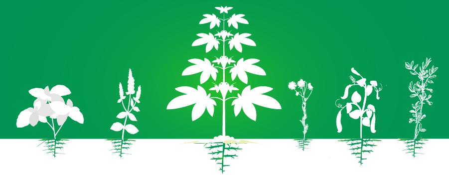 metgezel cannabis geteeld plantsoen efficiëntieverhoging organische