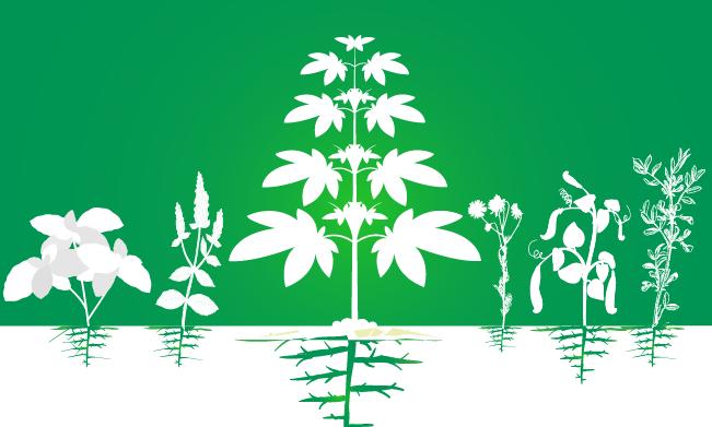 metgezel cannabisplantage teelt verhoging van efficiency organische