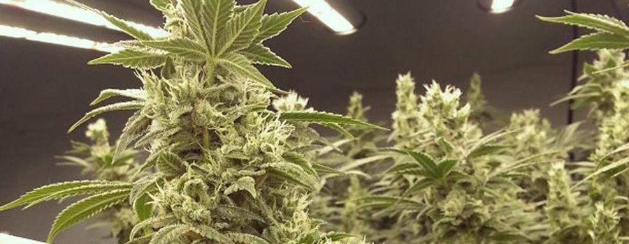Blue Cheese cannabis insomnia