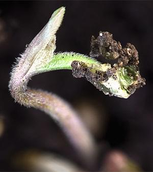 Cannabis 12-12-Verlichting