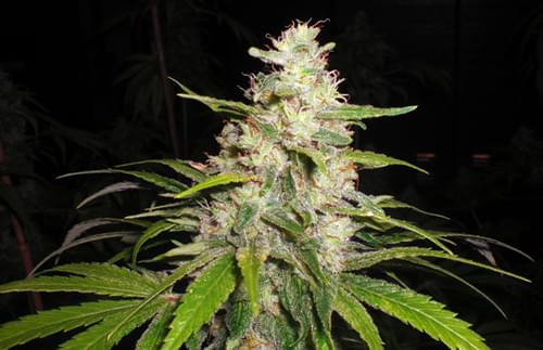 Painkiller Feminized Cannabis Seeds