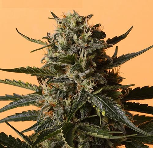 Shining Silver Haze Feminized Cannabis Seeds