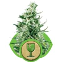 Autoflowering critical cannabis seeds