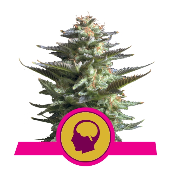 Buy Feminized Amnesia Haze Cannabis Seeds
