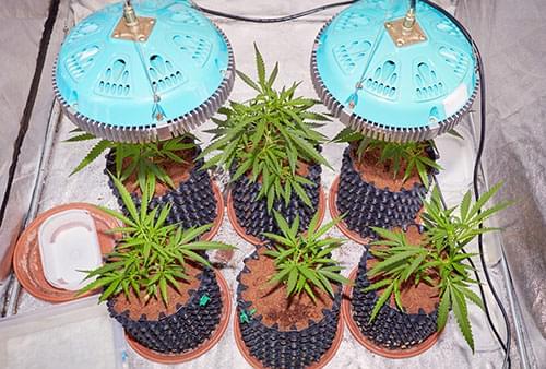 kweken marijuana licht LED
