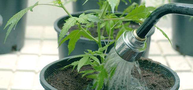 Marijuana Spoelen