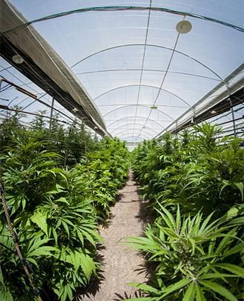 KAS cannabis