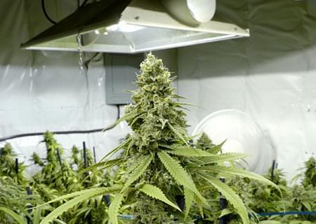 MH & HPS cannabis wereld