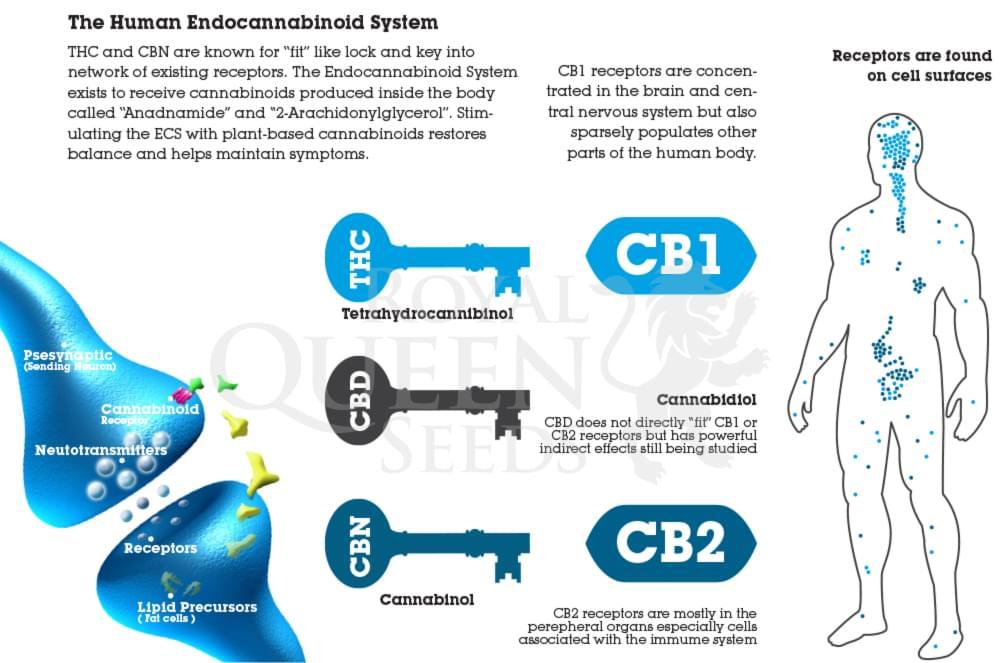 Cannabis recoptors CB1 CB2