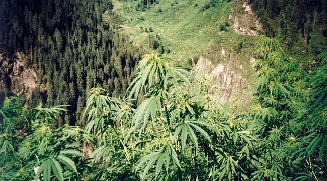 Cannabis UV light