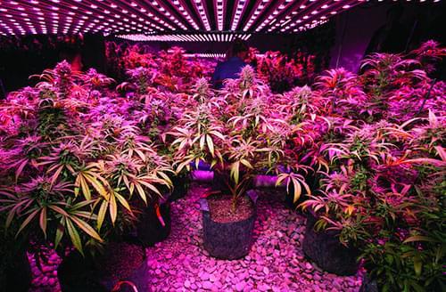 kweken van marijuana met LED