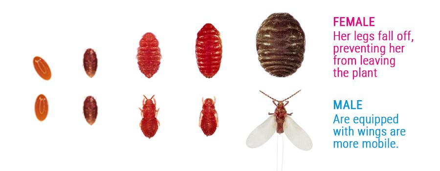 cochenille pest mannelijke en vrouwtje verschillen