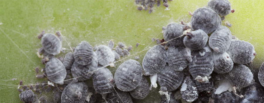 cochenille lieveheersbeestjes warm klimaat preventie geïnfecteerde planten cannabis