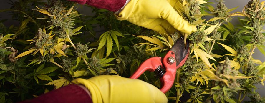 Cannabis snijden