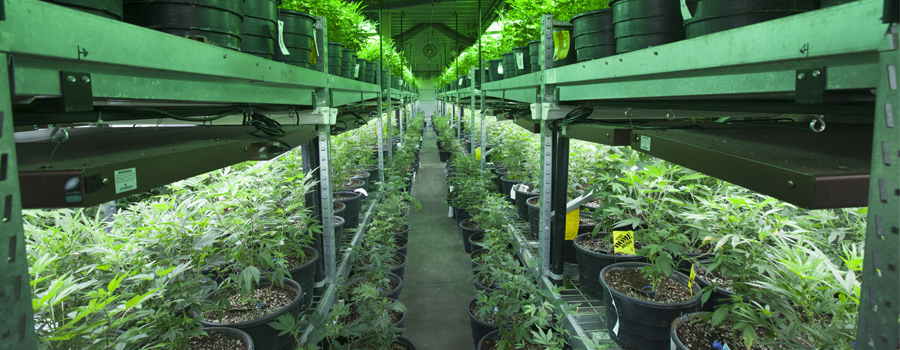 Cannabis indoor cultuur