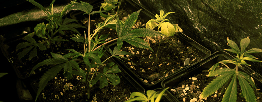 Clone Royal Queen Seeds