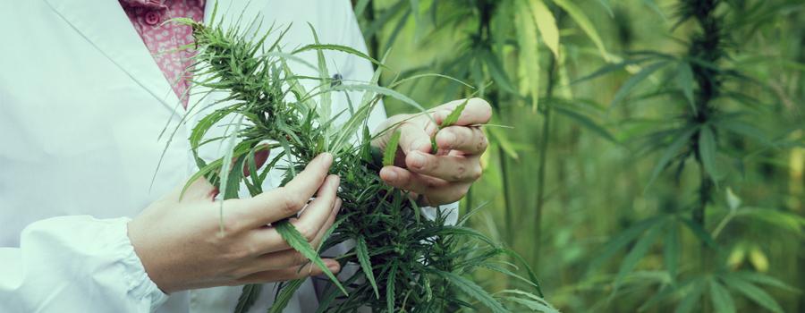 medische marihuana cannabis stam bipolaire stoornis behandeling