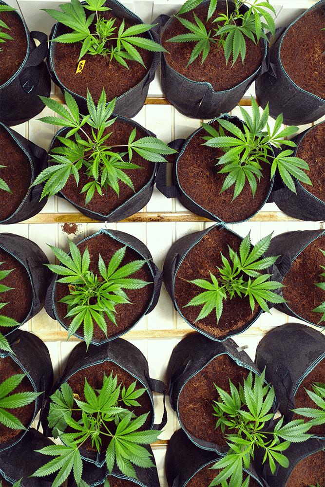cannabis pot transplantatie schok wortels