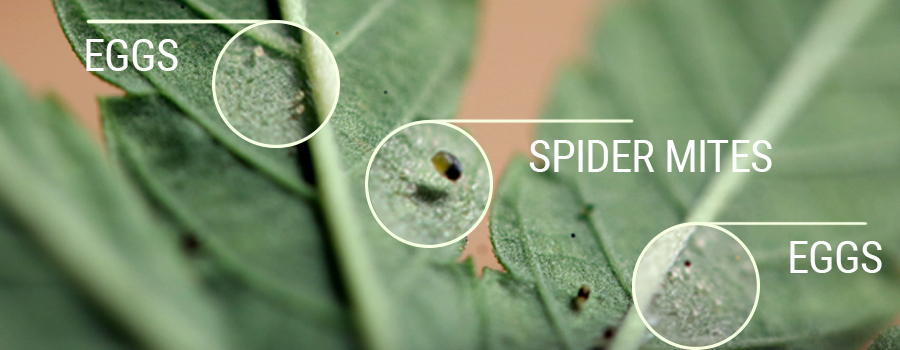 Spider Mites pest cannabis detection
