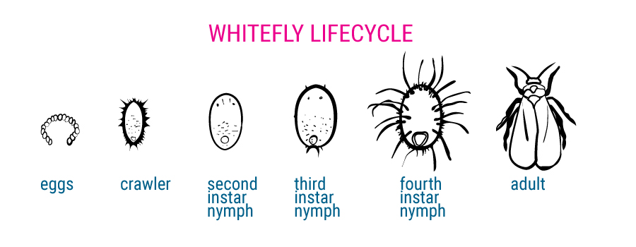 Whitefly lifecycle