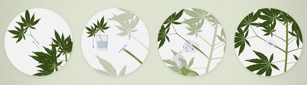 Cannabis Enten En Meerdere Strains