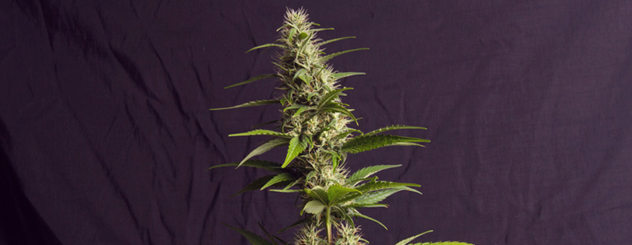 amnesia haze royal queen soort strain