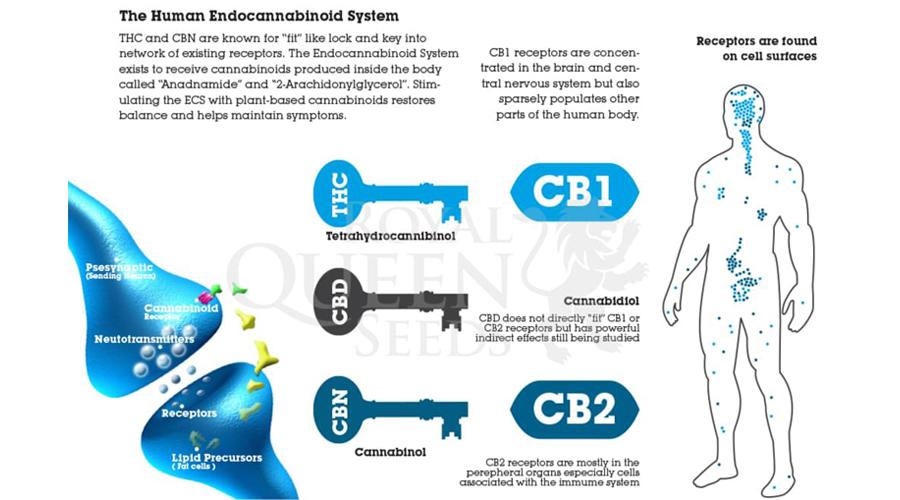 endocannabinoïde systeem THC CBD CBN anadnamide