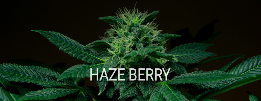 Haze Berry Royal Queen Seeds