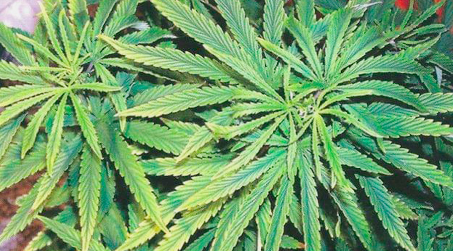 IJzer marihuana