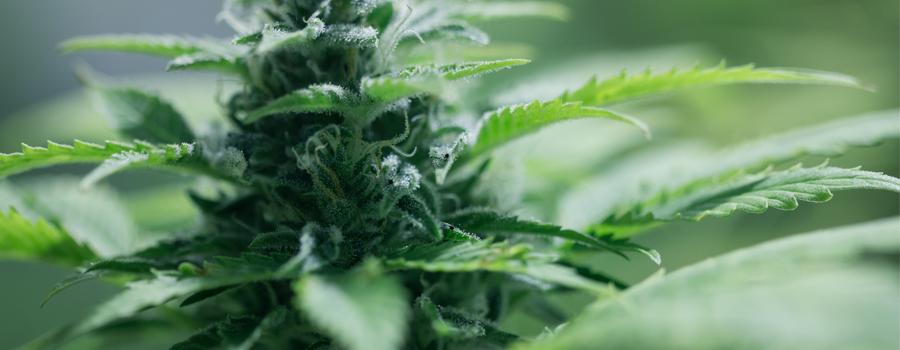 Compacte plant Cannabis autoflowering