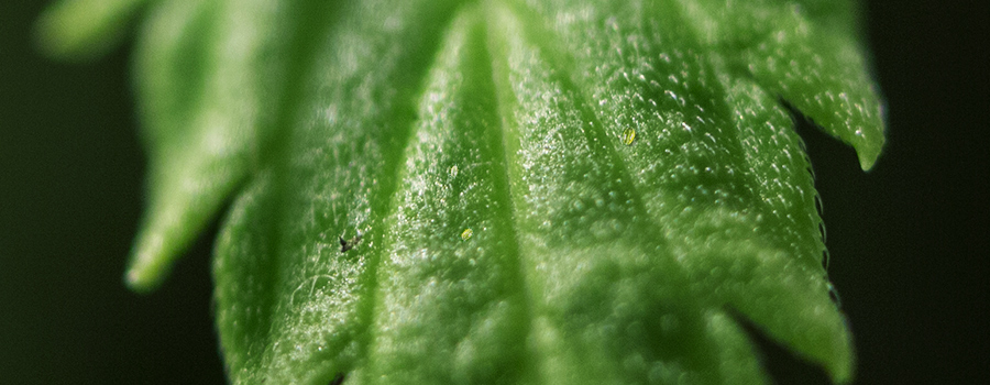 Brede mijten Close Up In Cannabis Leaf