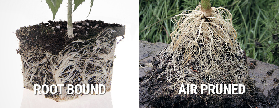 Air Pruned vs Root Bound Cannabis Plant