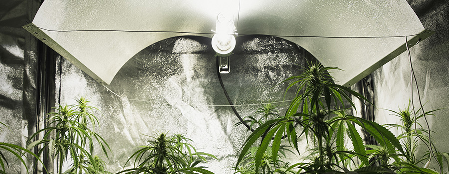 Licht Intensiteit Kweeklampen Cannabis