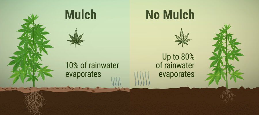 Mulch en No Mulch In Cannabis Cultivation