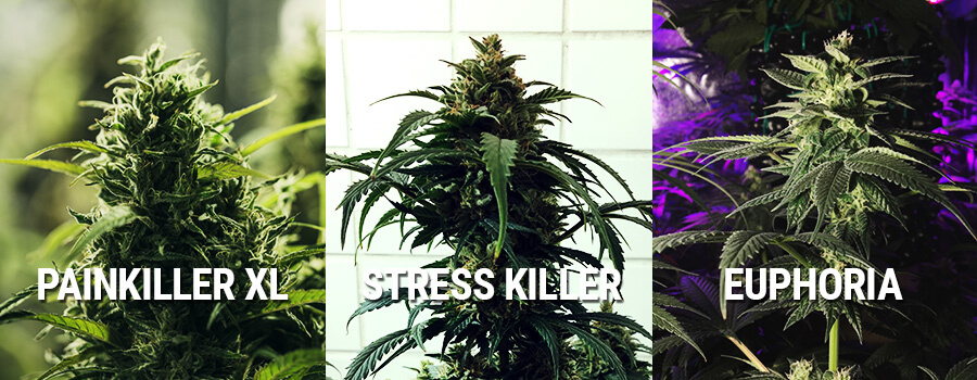 Cannabis Euphoria, Painkiller XL En Stress Killer