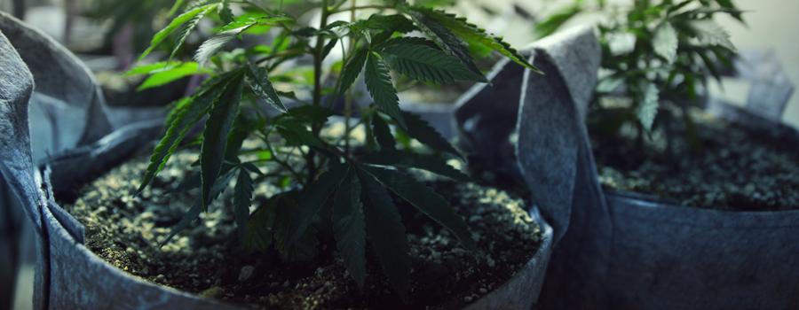 Cannabis cultuur katten en honden