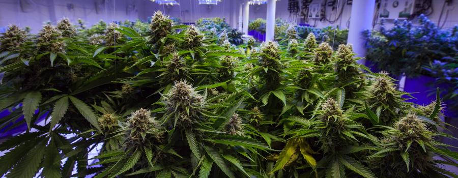 Cannabis industrie duitsland