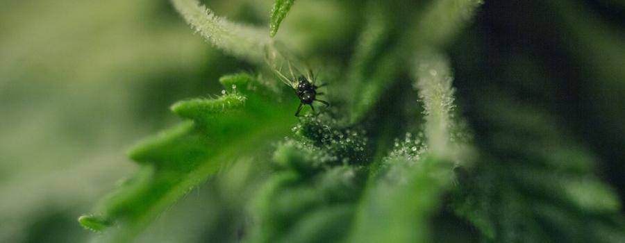Planten cannabisplanten