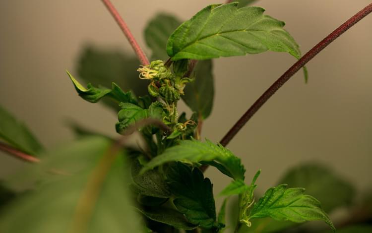 moederplant regeneratie techniek herbegroeiing cannabis marihuana