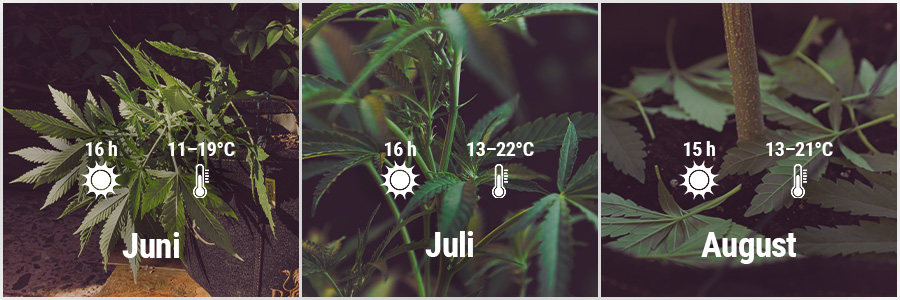 How To Grow Cannabis Outdoors - UK