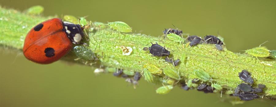 lieveheersbeestje predator cannabis