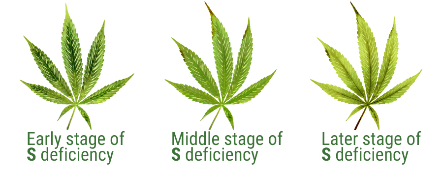 sulphur deficiency cannabis leaves