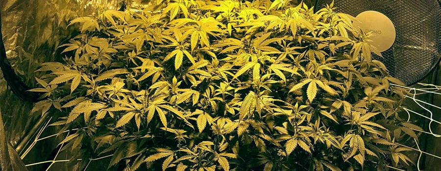 LST resultaat cannabis