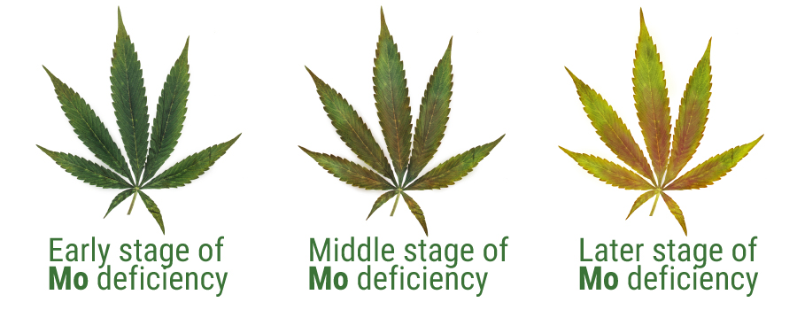 Molybdenum deficiency cannabis cultivation