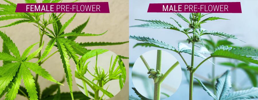 hermafrodiet planten vergelijking mannelijke en vrouwelijke pre-bloem cannabis