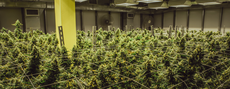 cannabis industrie legalisering USA california nieuwe markt wet Trump